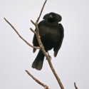bronzed-cowbird-displaying