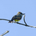 dusky-capped-flycatcher