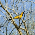 hooded-oriole