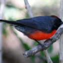 slate-throated-redstart