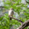 vermilion-flycatcher-female