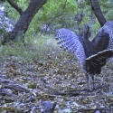 wild-turkey-january-2011