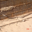 coachwhip-at-wall