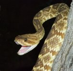 black-tailed-rattlesnake