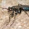 blue-black-spider-wasp