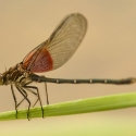 american-rubyspot-damselfly