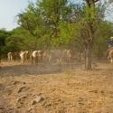 cattle-leaving-rancho-zetasora