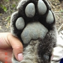 mountain-lion-paw