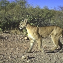 mountain-lion-december-2010