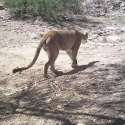 mountain-lion-dubaral