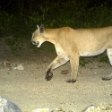 mountain-lion-pavos