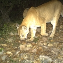 mountain-lion-babisal