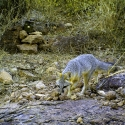 grey-fox-tinaja