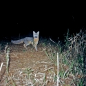 grey-fox-alisos
