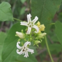 mexican-swallow-wort