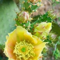 prickly-pear-flower