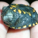 baby-sonoran-mud-turtle
