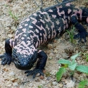 gila-monster