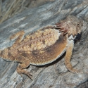 regal-horned-lizard