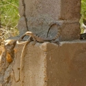 sonoran-spiny-tailed-iguana