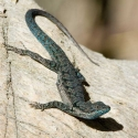 common-tree-lizard