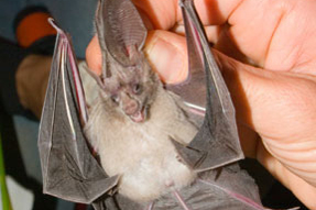 big-eared-bat2