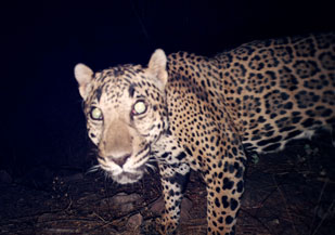 northern jaguar project – a binational effort to save the