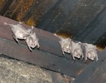 leaf-nosed-bats-rancho-babisal-son-a6