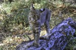 Blog-bobcat-babisal-january-2011