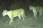 Guardians-blog-7-12-two-pumas.jpg