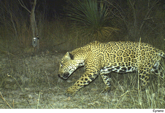 Exceptional Below Are Photographs Of Each Of This Yearu0027s Jaguars; Additional Jaguar  Images From Our Motion Triggered Cameras In 2012 Can Be Found Here.