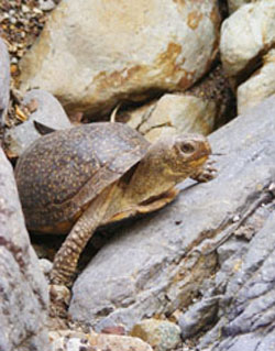 Spotted box turtle2