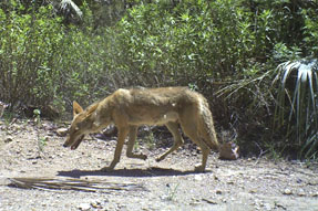 Coyote Babisal October 2015 blog