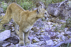 Mtn lion Puerto Sept 15 blog