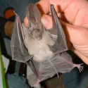 big-eared-bat
