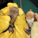 western-yellow-bat-western-red-bat