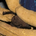 mexican-free-tailed-bat