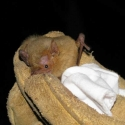 western-yellow-bat