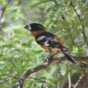 black-headed-grosbeak