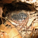 fan-tailed-warbler-nest-with-young