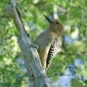 gila-woodpecker