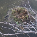 least-grebe-nest-with-egg
