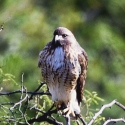 red-tailed-hawk