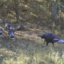 wild-turkeys-december-2010