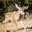 white-tailed-deer