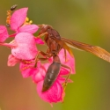 red-paper-wasp