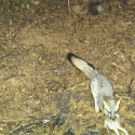 gray-fox-rabbit-december-2010