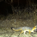 grey-fox-pavos
