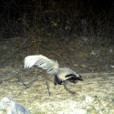 hooded-skunk-pavos