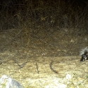 spotted-skunk-pavos